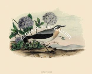 Wheatear, Northern or American Stone Chat by John Cassin